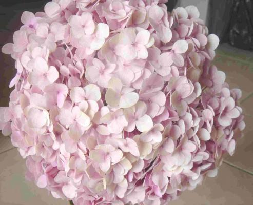 pink_hydrangeas